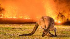 En känguru på Kangaroo Island 2019,