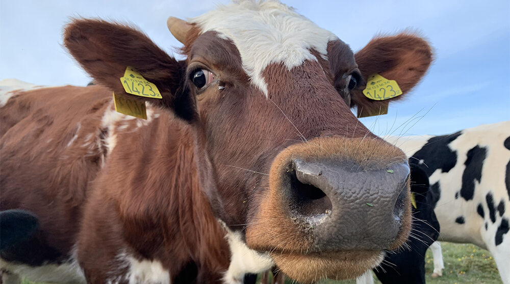 Kor betar, men sjögräs i fodret minskar utsläppet av metangas