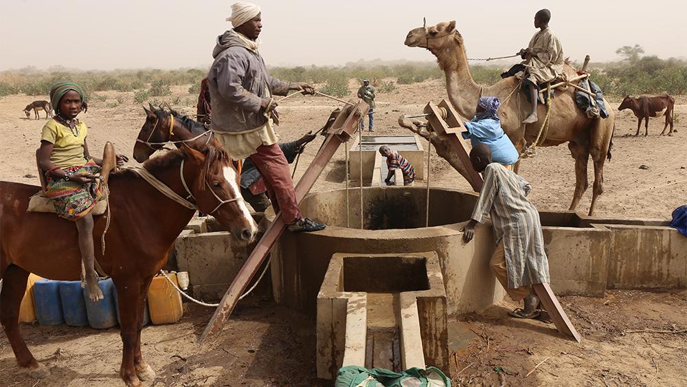 Kor vid ett vattenhål i byn Dagala i Tchad.